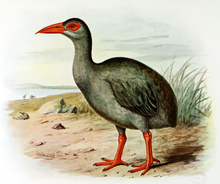An illustration of a bird with a long neck, a long, sharp, red beak, red legs and feet, mid-grey to black feathers and a large, red, naked area around its eye