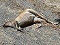 Roo roadkill.JPG