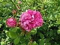 Rosa centifolia Muscosa 2020-06-23 0673.jpg