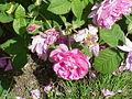 Rosa gallica0.jpg