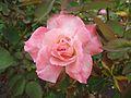 Rosa secret.jpg