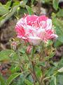 Rosa sp.216.jpg