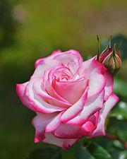 Rose,Minuette,バラ,メヌエット, (15092000907).jpg