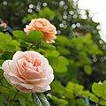 Rose, Charles Austin, バラ, チャールズ オースチン, (16041757921).jpg