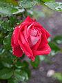 Rose, Love, バラ, ラヴ (8728456038).jpg