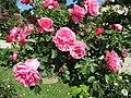 Rose Léonard de Vinci.jpg