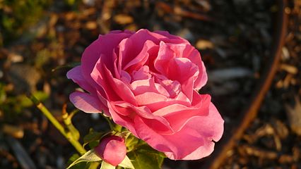 Rose The Fairy.JPG