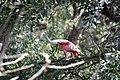 Roseate Spoonbill - panoramio (1).jpg