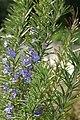 Rosmarinus officinalis 13zz.jpg