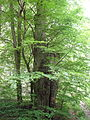 Rotbuche im Isseltal (Hoch-Weisel) 10.JPG