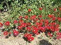 Rote Mittagsblumen.JPG