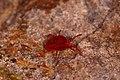Rote Samtmilbe Trombidium holosericeum 2.jpg