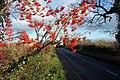 Rowan berries by Moor Lane - geograph.org.uk - 290976.jpg
