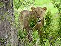 Ruaha lioness.jpg