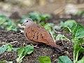 Ruddy Ground-dove (40797509651).jpg