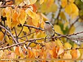 Rufous-backed Redstart (Phoenicurus erythronotus) (38156912216).jpg