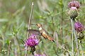 Rufous Hummingbird (immature male) - Rustler Park - Cave Creek - AZ - 2015-08-16at10-56-0913 (21637488775).jpg