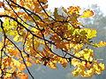 Słońce w jesiennych liściach.JPG