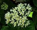 SDC11302 - Begonia odorata (Schiefblatt).JPG