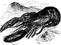 SFR b+w - lobster.jpg