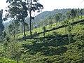 SILVER OAKS PROTECT TEA SHURBS FROM HARSH SUN RAYS KOTAGIRI TN - panoramio.jpg