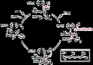 Farnesyl-diphosphate farnesyltransferase