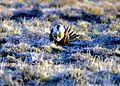 Sage-grouse (15139422364).jpg