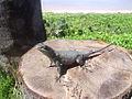 Salamandra Close.JPG