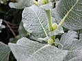 external image 120px-Salix_lanata_leaf_upper_view_2.JPG