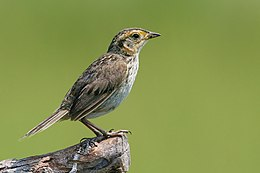 Saltmarsh sharp tailed sparrow