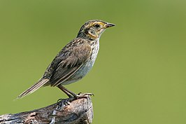 Saltmarsh sharp tailed sparrow.jpg