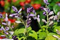 Salvia splendens Blue Ribbon 1zz.jpg