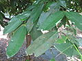 Samadera indica - കരിഞൊട്ട 04.JPG