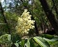 Sambucus racemosa flowers.jpg