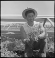 San Leandro, Caliifornia. Bunching young tomato plants together on an Alameda County farm for one o . . . - NARA - 536434.tif