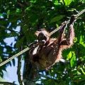 Sandakan Sabah Sepilok-Orangutan-Rehabilitation-Centre-14.jpg