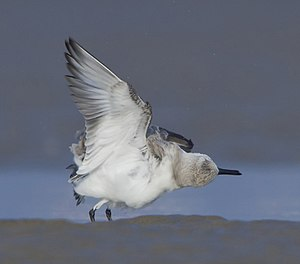 Sanderling - at kutch