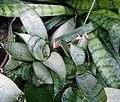 "Sanseveria trifasciata ""Silver Hahnii"" 2.JPG"