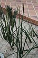 Sansevieria Cylindrica & Africa Central (1) (11982010005).jpg