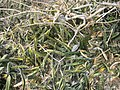 Sansevieria scimitariformis Mount Panda 2 (10962018625).jpg
