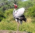 Sarus cranes dancing.jpg
