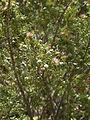 Saxegothaea conspicua Oncol 2.jpg