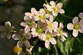 Saxifraga Flowering In Garden. Hampshire UK.jpg