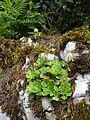 Saxifraga cuneifolia 1 BOGA.jpg