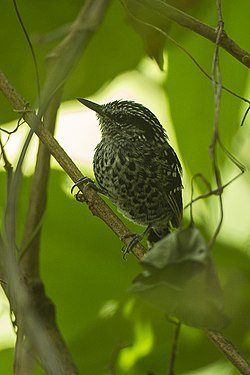 Scaled Antbird - REGUA - Brazil S4E2786 (12926045034).jpg