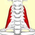 Scalenus medius muscle07.png