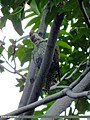 Scaly-bellied Woodpecker (Picus squamatus) (15700682618).jpg