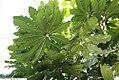 Schefflera elegantissima 5zz.jpg