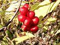 Schisandra chinensis e.JPG