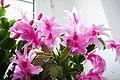 Schlumbergera pink - Flickr - blumenbiene.jpg